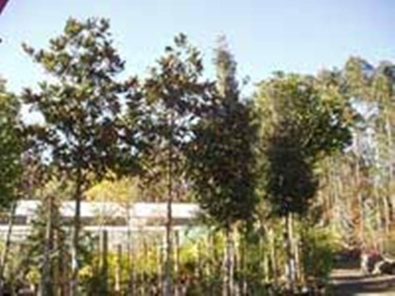 Comprar Magnolias