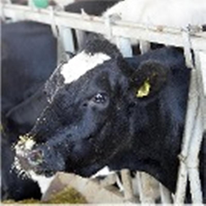 Comprar Vacas Lecheras