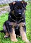 Comprar Cachorros (pastores alemanes)