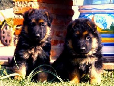 Comprar Perros y cachorros