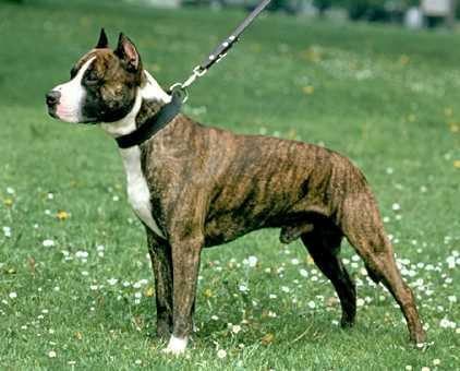 Comprar American Staffordshire Terrier