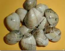 Comprar Almeja Babosa (venerupis pullastra)