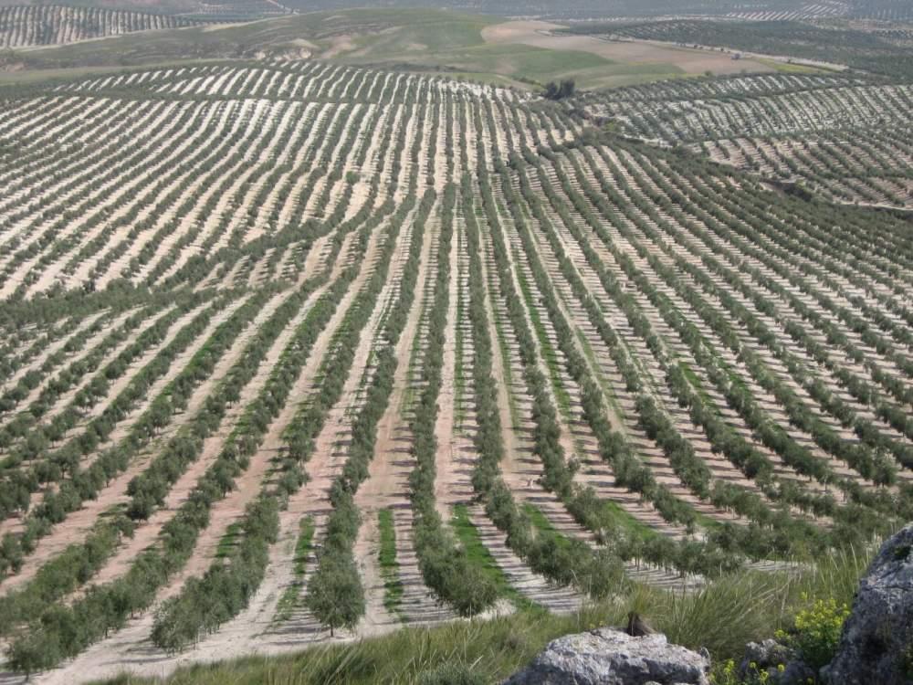 Comprar Finca de olivar en Jaén