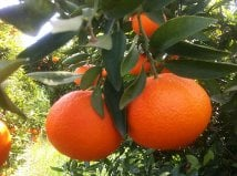 Comprar Tangerines
