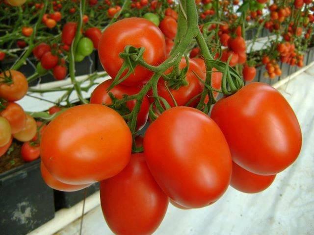 Comprar Tomatoes