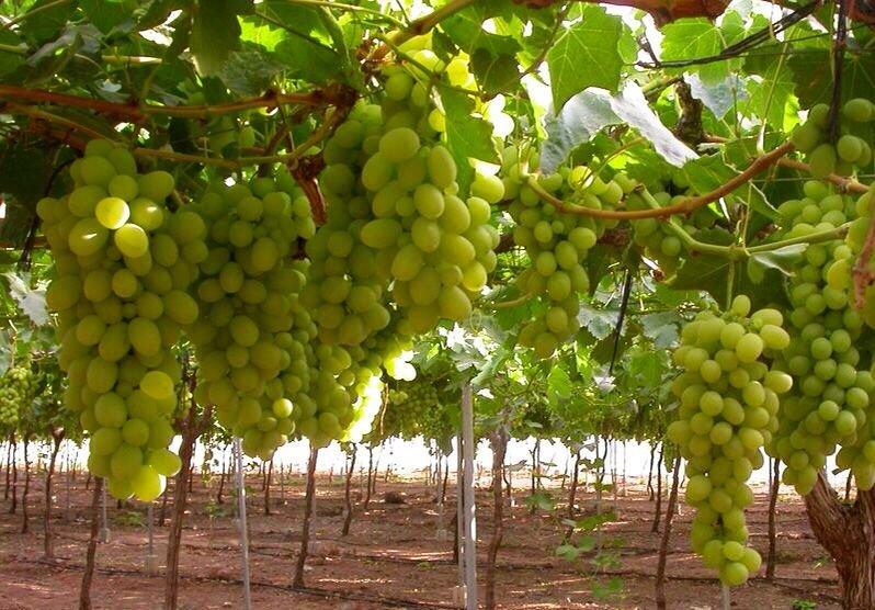 Comprar Продаем виноград