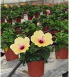 Мальвовые растения