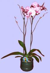 Planta de orquidea phalaenopsis