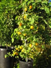Les arbres fruitier