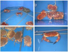 Buey de mar - Cancer Pagurus