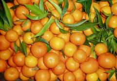 Clementines and Mandarins