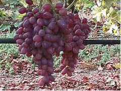 Planta CRIMSON SEEDLESS