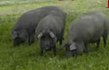 Carne fresca del cerdo ibérico