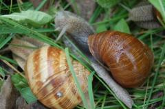 Live Snails-Helix Pomatia,Helix aspersa,GALS and others for sale