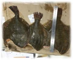 Камбала (Pleuronectes platessa), мороженая, потрошеная, без головы.