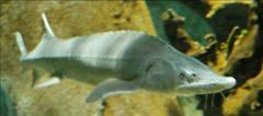 Сиби́рский осётр (Acipenser baerii)Ecologico