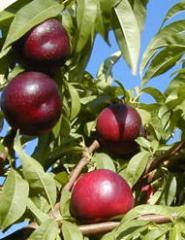 Melocoton, frutas con hueso