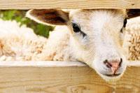 Corderos, chivos, lanas