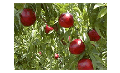 Árbol frutal Zincal-15