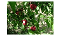 Плодовое дерево Viowhite-5