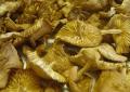 Senderuelas deshidratadas (marasmius oreades)