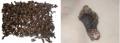 Percebe - Pollicipes Cornucopiae