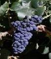 Planta Bobal