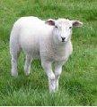 Carne producción ovino