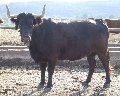 Vaca Cariñosa