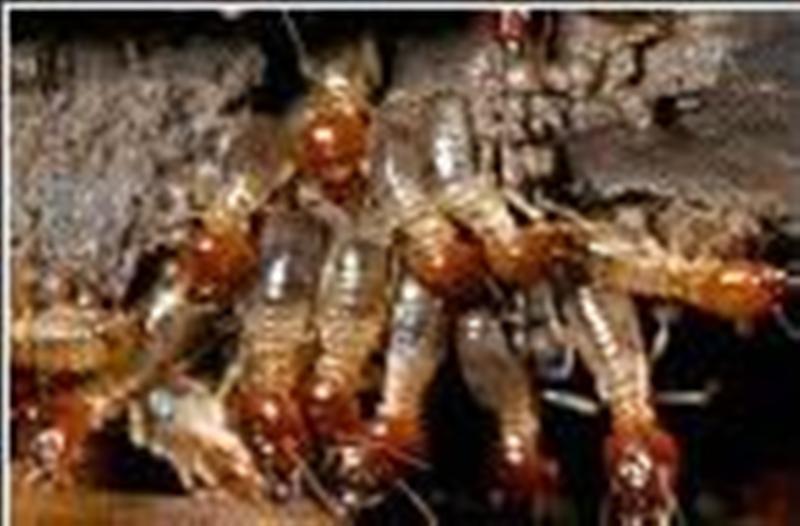 Pedido Tratamiento contra termitas