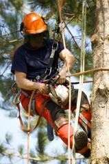 Tala de pinos y palmeras
